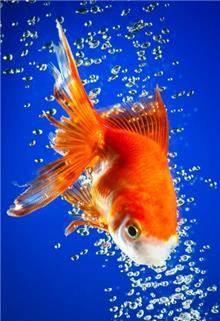 הדפס זכוכית דג זהב