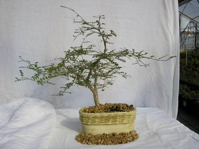 הבוסנאי הוא צמח