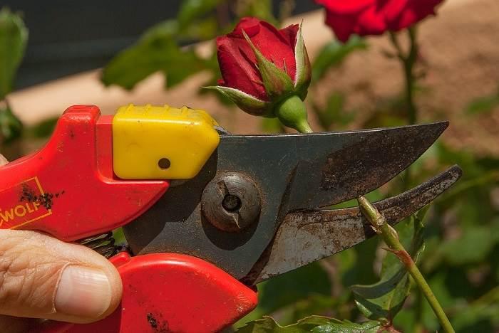 גדלו ורדים עם שמש מלאה והשקיה סדירה.