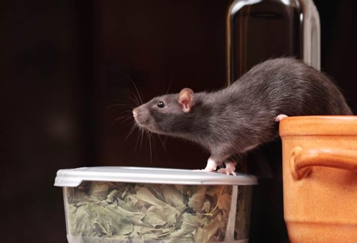 עכברים וחולדות מהווים סכנה ועלולים להעביר גורמי מחלה, (צילום: אילוסטרציה)