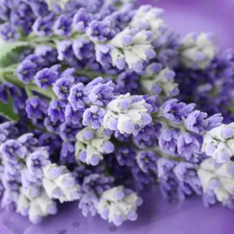 הצבע הרשמי לשנת 2014 - סחלב זרחני או במילים אחרות - סגול. תמונה לבית של פרחים סגולים - AV Design