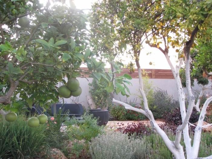 להגדלת שטח הריצוף בלי לפגוע באסטטיות הגינה, הוקמה פינת ישיבה בין עצי הפרי. מסביב צמחי תבלין שונים: לוונדר משונן, לואיזה ועשב לימון יחד עם ביצן ארגמני ומרווה קימחית (תכנון וצילום: רויטל לוריא)