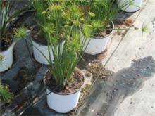 Cyperus prolifer גומא פורה