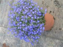 Lobelia sp. 'Blue' לובליה מ.ל.י