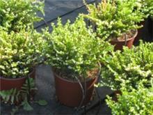 Cuphea hyssopifolia גבנון בן-אזוב לבן