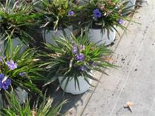 Ruellia brittoniana dwarf cvs