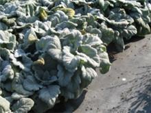 Salvia argentea מרווה מכסיפה