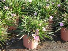 Ruellia brittoniana dwarf cvs pink