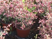 Salvia lanceolata מרווה אזמלנית