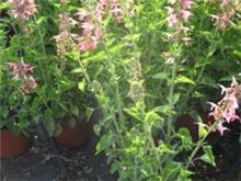 Salvia coccinea 'Coral' מרווה אדומה 'קור