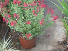 Salvia greggii 'Furman's Red' מרוות גרג