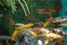 בריכת דגי קוי נתניה 2