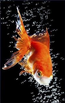הדפס לזכוכית דג זהב