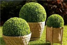 כדור דשא- שיח כדורי קוטר 55 יבוא - GARDENSALE
